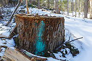 Tree stump in Unit 44 of the Kanc 7 Timber Harvest logging project along the Kancamagus Scenic Byway in the White Mountains of New Hampshire USA. This paint mark usually means the tree will be cut during the timber harvest. However, because the paint mark is placed so low on the tree it remains on the tree stump after the tree has been cut.