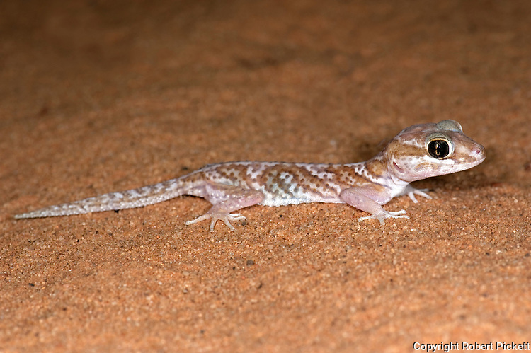 Ocelot Gecko, Paroedura pictus, Ifaty, Madagascar, nocturnal, at night on sandy ground, Madagascar ground gecko, pictus gecko, Malagasy fat-tailed gecko, or panther gecko, Least Concern on IUCN Red List