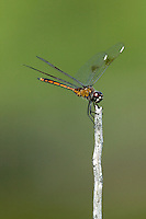 Four-spotted Pennant (Brachymesia gravida) Dragonfly - Juvenile Male, Tierra Verde Pond, Tierra Verde, Pinellas County, Florida