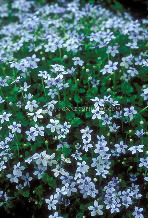 Blue Flowers Amp Plants Stock Photos Images Plant Flower