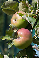 Malus domestica 'Charlotte' (Apple) C/Ball fruit apples growing