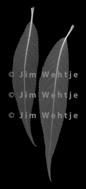 X-ray image of white willow leaves (Salix alba, white on black) by Jim Wehtje, specialist in x-ray art and design images.