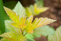 Physocarpus opulifolius 'Coppertina' in spring leaf color, ninebark foliage shrub . Note that Physocarpus 'Coppertina' aka Mindia is called Physocarpus opulifolius 'Diable D'Or' aka Mindia in Europe.
