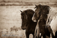 A photo of a bachelor band of wild horses. Wild Horse Photography by western photographer Jess Lee. Pictures of mustangs in the West. Fine art images,Prints,photos Wild horse photo,wildhorses in the american west,