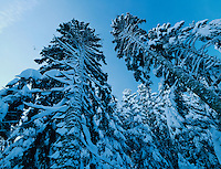 Silver Fir, Abies alba, with snow, Unteraegeri, Switzerland