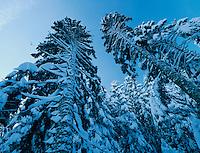 Silver Fir, Abies alba, with snow, Unteraegeri, Switzerland
