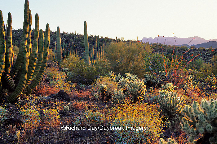 62745-00213 Morning landscape of mixed cactus Organ Pipe National Monument   AZ