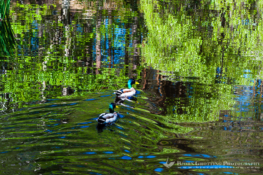 Norway, Sandnes, Rogaland Arboretum. Mallard ducks.