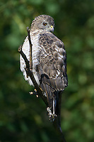 Borad-winged Hawk perched on a branch
