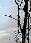 Dove in a tree seen on a walk along the Saugerties Lighthouse trail in Saugerties, NY on Thursday, March 9, 2017. Photo by Jim Peppler. Copyright Jim Peppler 2017.