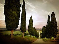 A Cypress tree lined road in Siena Tuscany Italy.