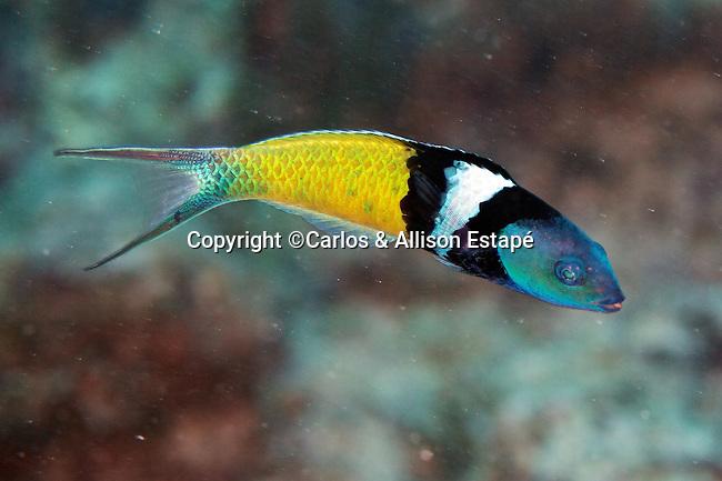 Thalassoma bifasciatum, Bluehead, Florida Keys