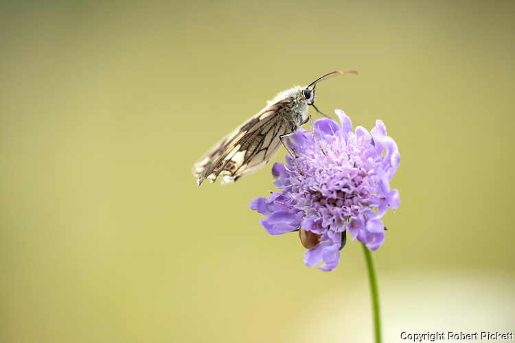 Marbled White Butterfly, Melanargia galathea, Temple Ewell Nature Reserve, Kent Wildlife Trust, UK