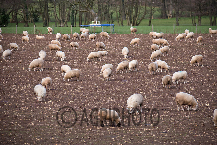 Sheep grazing turnips in Wales.Tim Scrivener,Vine Cottage,Barholm,Stamford,.Lincolnshire,PE9 4RA
