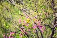 Volanton o Junenil de la especie del Bolsero de dorso rayado   o Icterus Pustulatus (NombreCientifico) con distribuci&oacute;n se limita en el Oeste  Mexico, es rar&iacute;simo en Arizona. Se reproduce en la Selva baja con nidos en forma del bolsa. <br /> <br /> ****<br /> Reserva Monte Mojino (ReMM) de la Natural Culture International (NCI)<br /> <br /> Credito:LuisGutierrez