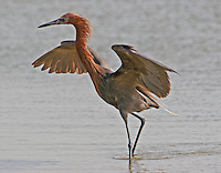 Reddish egret adult chasing fish