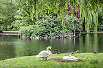 Nesting swans at the pond in the Boston Public Garden, Boston, Massachusetts, USA