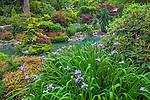 Vashon-Maury Island, WA Iris blooming next to a salt water plunge pool surrounded by woodland perennial garden.