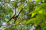 Black-handed Spider Monkey (Ateles geoffroyi) sub-adult hanging in tree, Osa Peninsula, Costa Rica