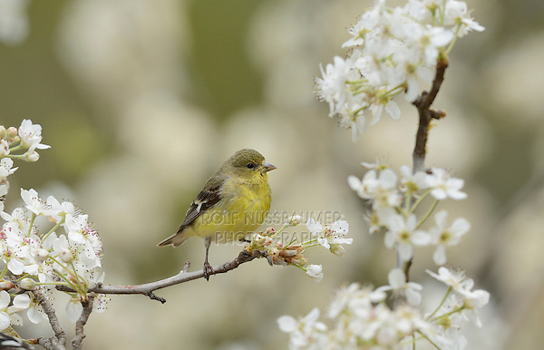 Lesser Goldfinch (Carduelis psaltria), female perched on blooming Mexican Plum (Prunus mexicana) , Hill Country, Texas, USA