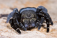 Röhrenspinne, Weibchen, Eresus sandaliatus, Eresus annulatus, ladybird spider, female, Röhrenspinnen, Eresidae, ladybird spiders