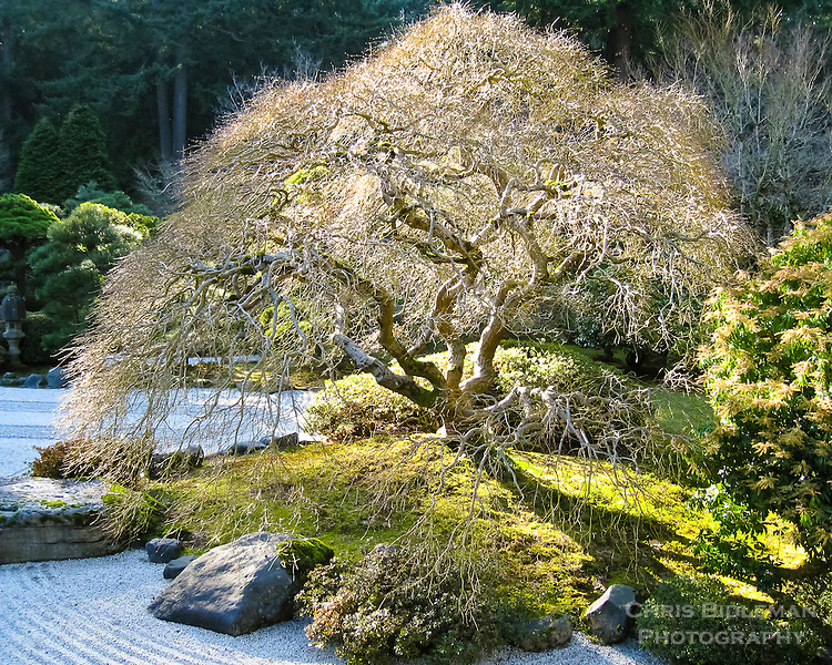 Bare branches of Japanese Maple backlit by sun on moss mound in a sand garden with rocks surrounding maple and trees in background of Portland Japanese Garden Flat Garden (hira niwa)