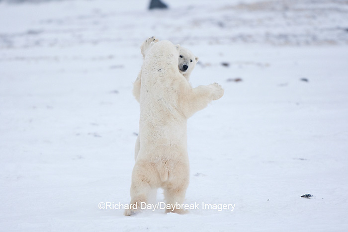 01874-11817 Polar Bears (Ursus maritimus) sparring / fighting in snow, Churchill Wildlife Management Area, Churchill, MB Canada