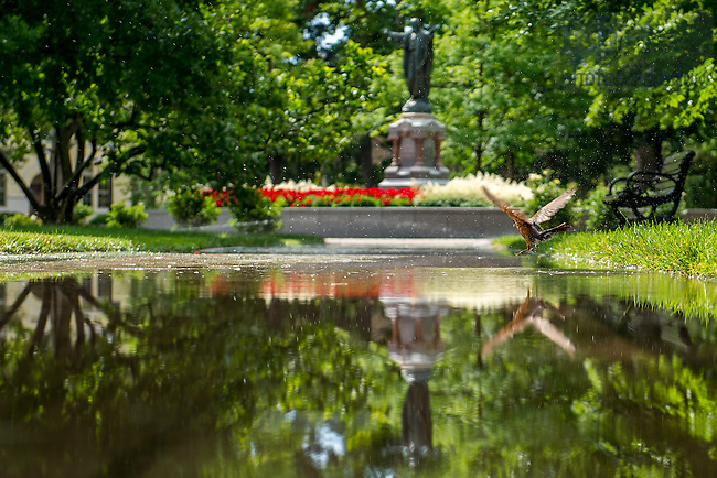 June 22, 2016; A robin turns a puddle into a bird bath on God Quad. (Photo by Matt Cashore/University of Notre Dame)