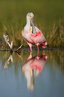 Roseate Spoonbill (Ajaia ajaja), adult preening, Sinton, Corpus Christi, Coastal Bend, Texas, USA