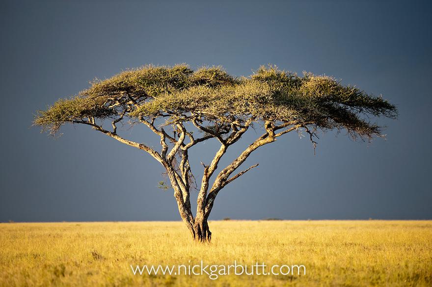 Acacia Tree (Acacia sp.) with thundery sky behind. Serengeti National Park, Tanzania.