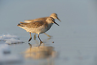 Red Knot (Calidris canutus), adult, Port Aransas, Mustang Island, Texas Coast, USA