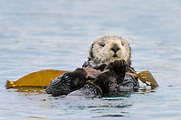 Southern Sea Otter (Enhydra lutris nereis) resting in kelp.  Central California Coast.  Sea otters often wrap kelp around themselves so that they do not drift off with the tide/wind/current while resting.