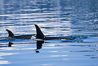 Orca, Killer whales, Prince William Sound, Alaska