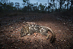 A dead Northern quoll.  The northern quoll (Dasyurus hallucatus), also known as the northern native cat, the satanellus, the North Australian native cat or the njanmak (in the indigenous Mayali language), is a carnivorous marsupial native to Australia.