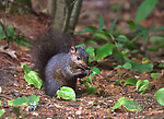 Black squirrel at  P.H. Hoeft State Park.
