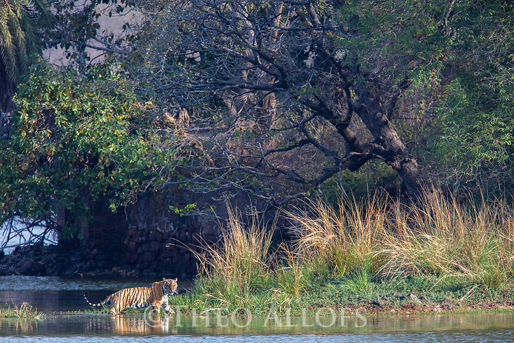 India, Rajasthan, Ranthambhore National Park, Bengal tiger, walking in lake