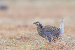 Male sharp-tailed grouse displaying on a lek in Namekagon Barrens (Danbury, Wisconsin).