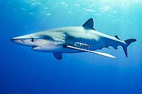 Blue shark, Prionace glauca, Condor Banks, Faial, Pico, Atlantic Ocean, Azores, Portugal