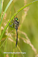 06544-00107 Hine's Emerald dragonfly (Somatochlora hineana) male in fen, Federally Endangered Species Reynolds Co,  MO