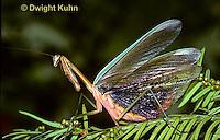 1M26-008a  Praying Mantis adult displaying - Tenodera aridifolia sinensis