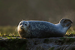 Harbor Seal (Phoca vitulina) steaming as sun hits its wet body, Elkhorn Slough, Monterey Bay, California