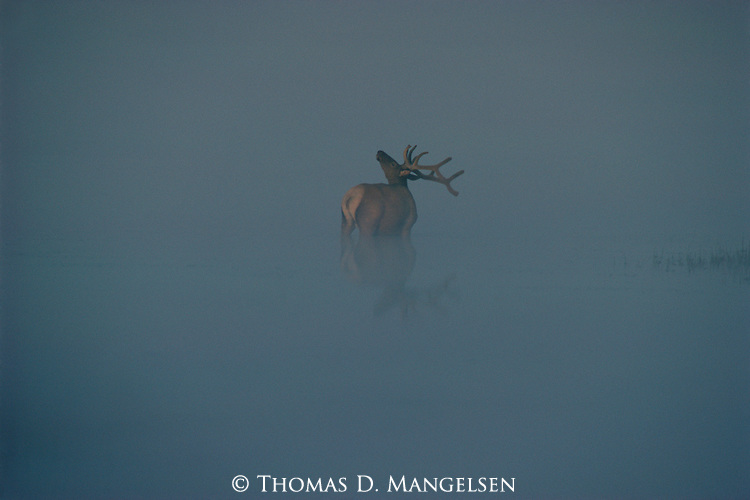 A bull elk is reflected in Alum Creek as it stands in morning fog in Yellowstone National Park, Wyoming.