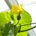 Female melon flowers have a rouded swelling at the base of their petals. It is where the fruit will develop if fertilization takes place.