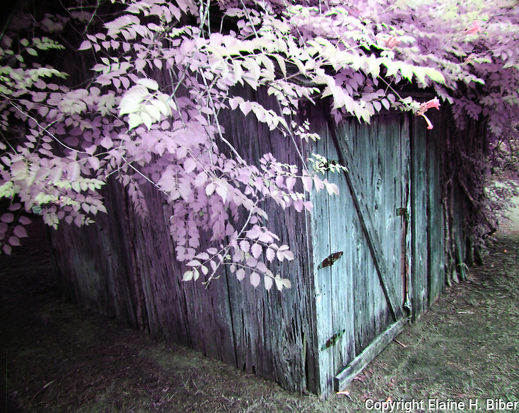 Weathered wood shed with trumpet vine