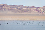 Walker Lake in Nevada is a haven for Migratory birds. In Autumn the lake is filled with the Common Coot and a paradise for birdwatchers.