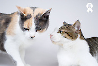 Two cats on white background (Licence this image exclusively with Getty: http://www.gettyimages.com/detail/sb10065145aw-001 )