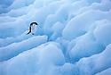 Adelie Penguin on an Iceberg; Paulet Island, Antarctica