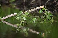 Europäischer Biber, Fraßspur an einem Birkenast, Altwelt-Biber, Castor fiber, Eurasian beaver, European beaver, Castor d´Europe