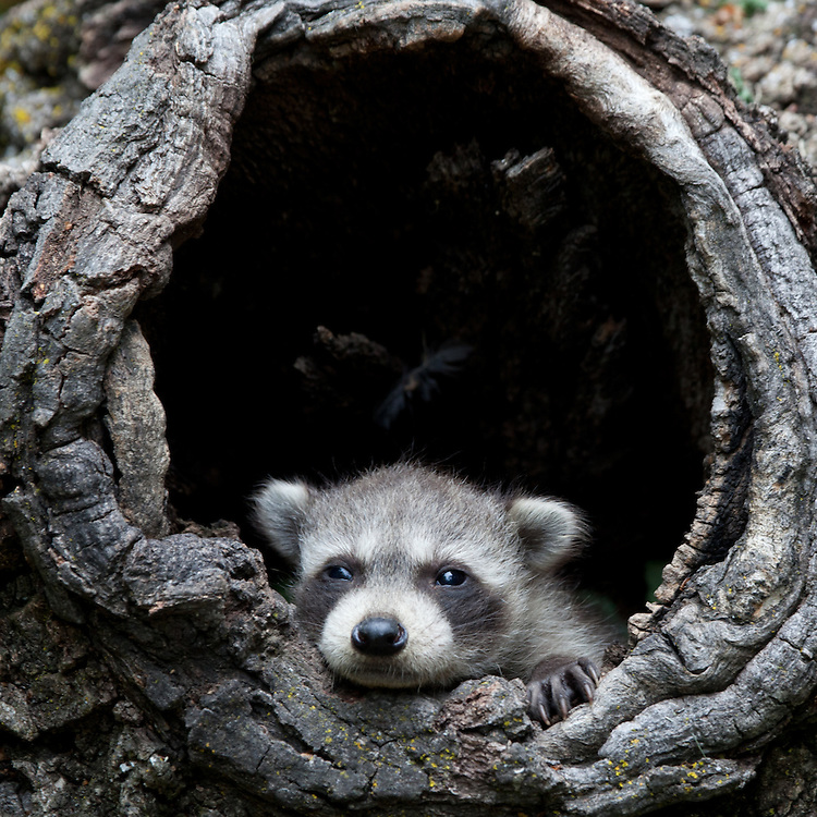 Baby Raccoon crawling out of a hollow log - CA