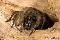 1006-0907  Wolf Spider, Emerging from Tunnel, Hogna spp. [formerly Lycosa spp.]  © David Kuhn/Dwight Kuhn Photography